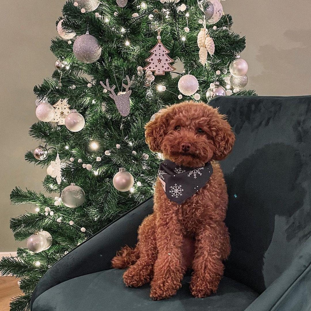 Đặc điểm tính cách của chó Poodle