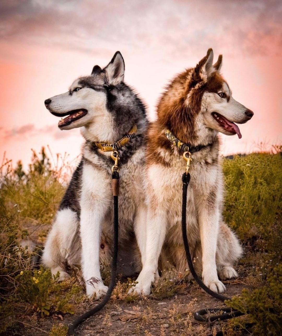 Có nên hỗ trợ chó Alaska mẹ đẻ không?