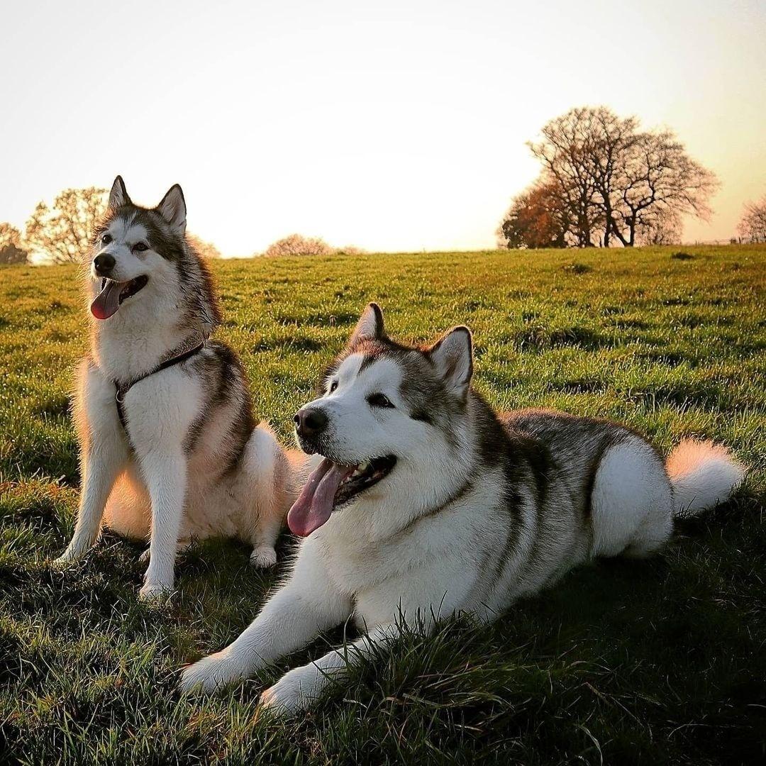 Phương pháp huấn luyện chó Alaska đi vệ sinh đúng chỗ trong nhà