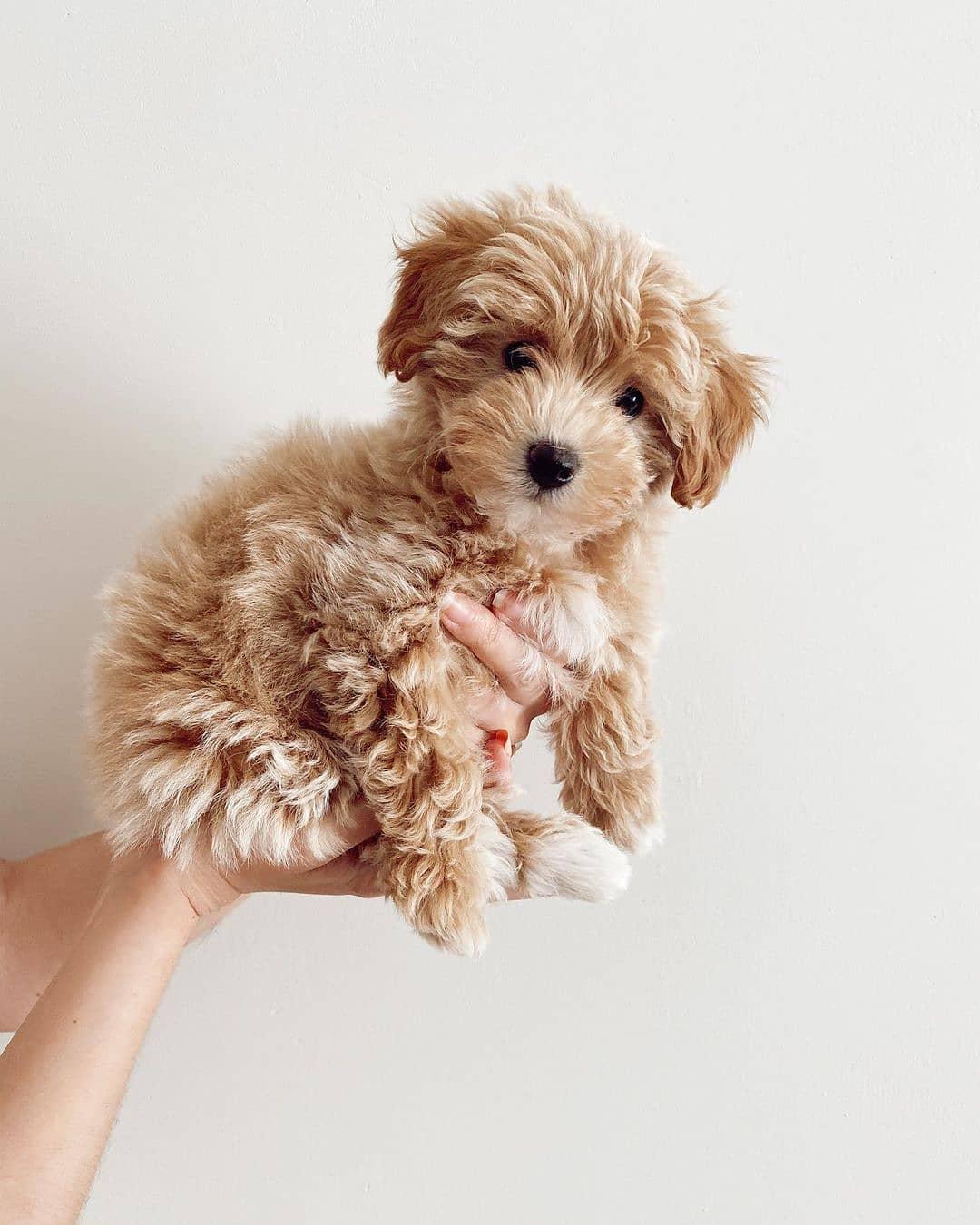 Tắm và vệ sinh cho chó Poodle