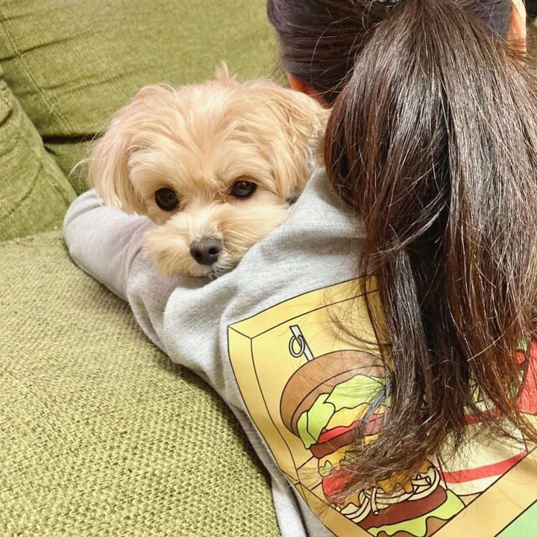 Giá chó Poodle nhập khẩu từ Thái Lan