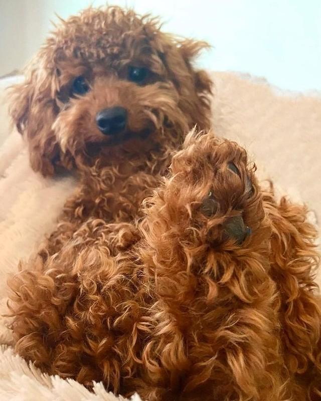 Giá chó Poodle sinh ra tại Việt Nam