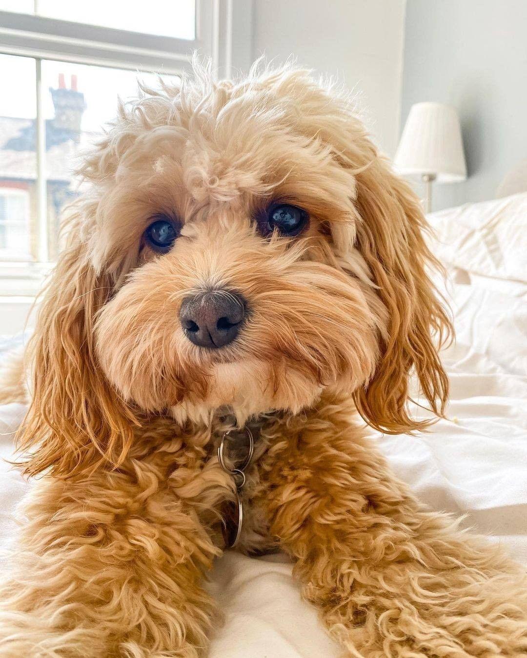Dinh dưỡng cho Poodle 3-6 tháng tuổi ăn gì?
