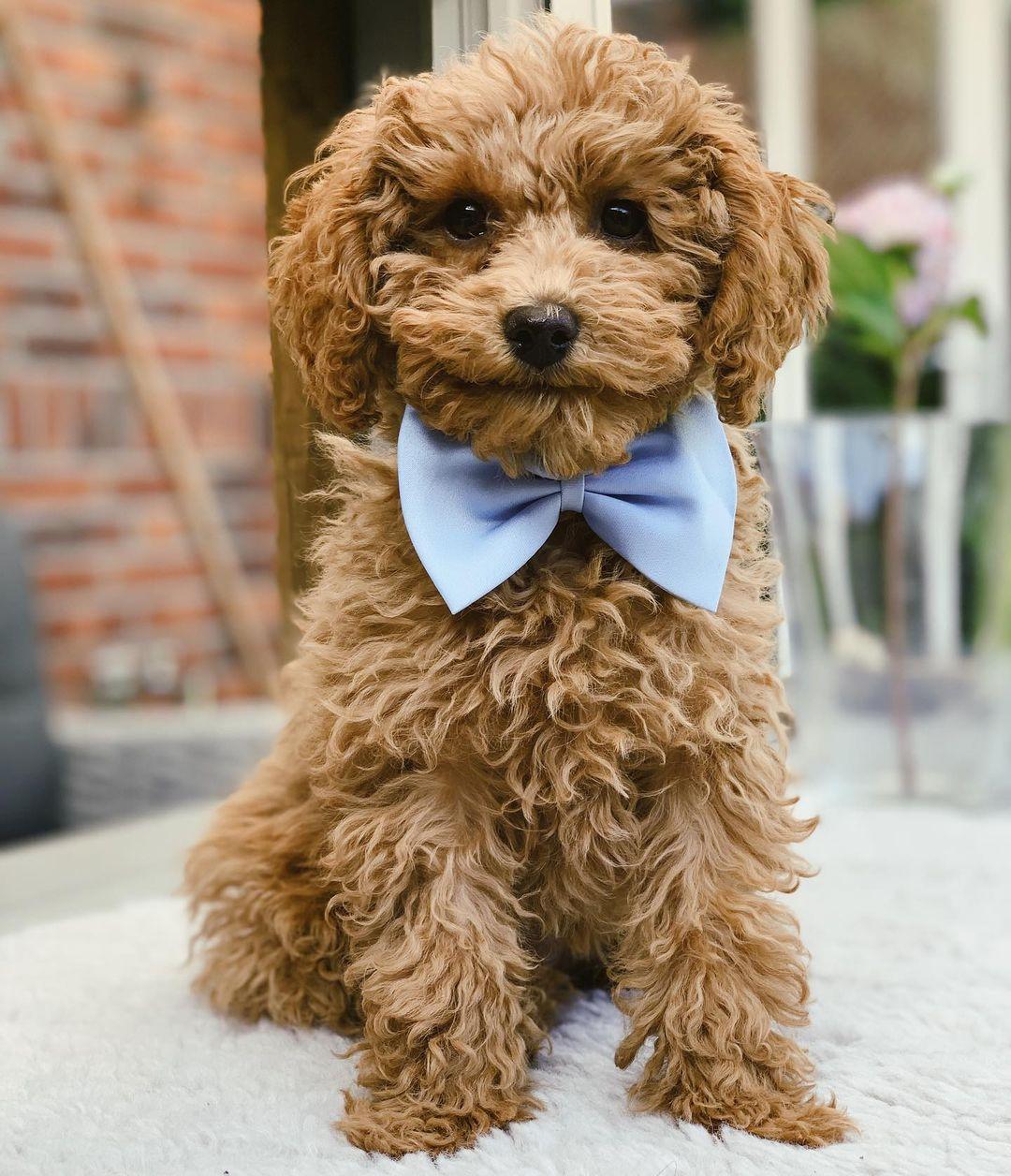 """Thông tin chó Poodle – Chú chó """"Chăn Vịt"""" lông dài đáng yêu"""
