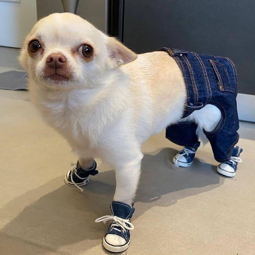 Chihuahua13