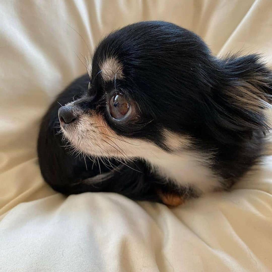 Chihuahua16