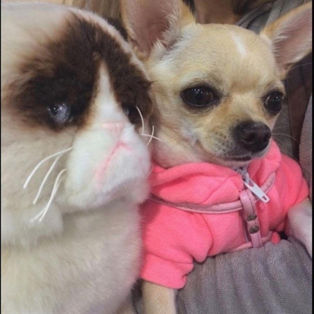 Chihuahua21