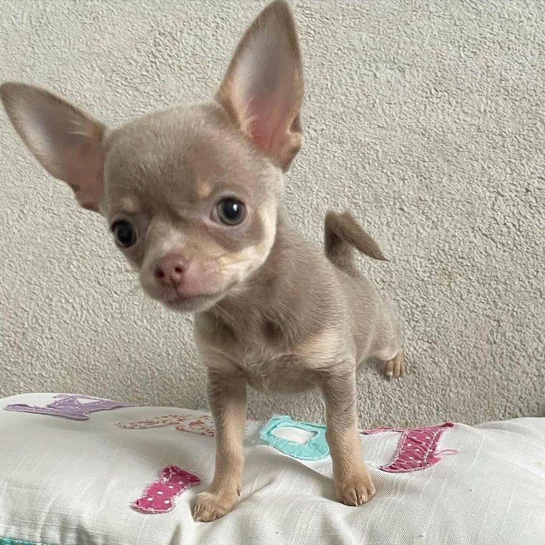 Chihuahua36