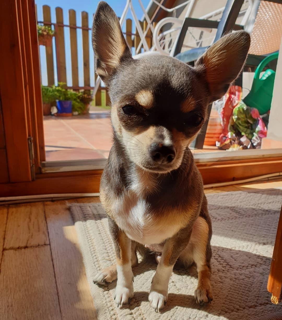 Chihuahua39