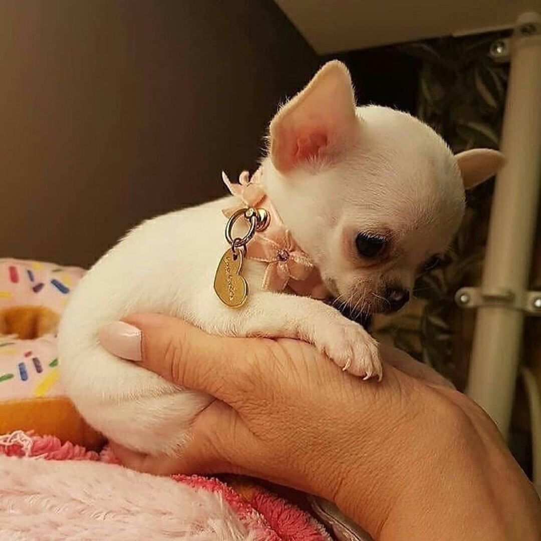 Chihuahua49