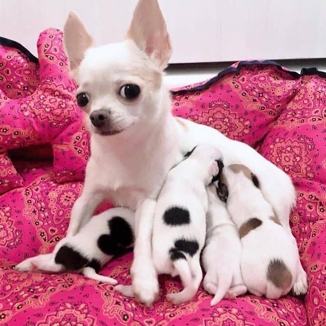 Chihuahua52