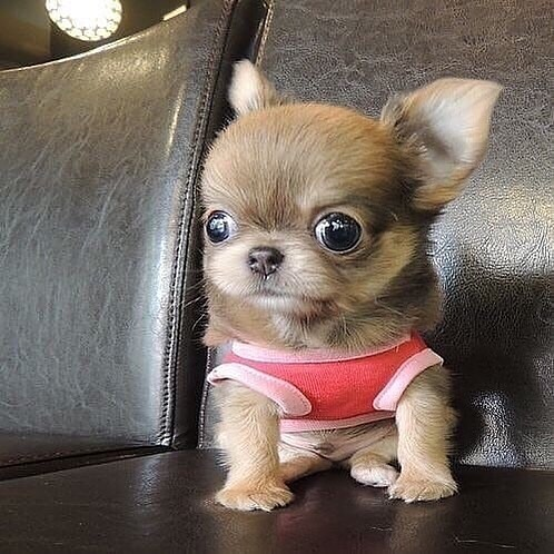 Chihuahua54