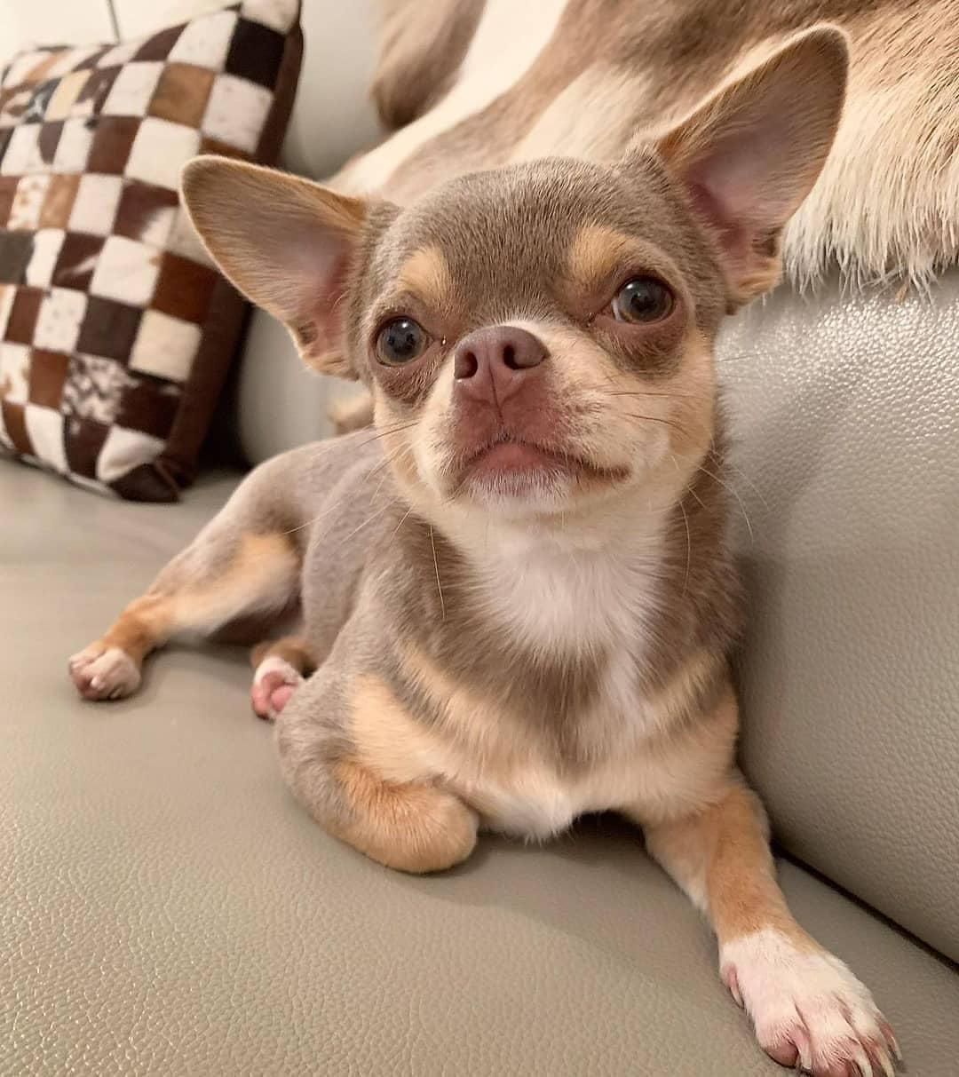 Chihuahua55