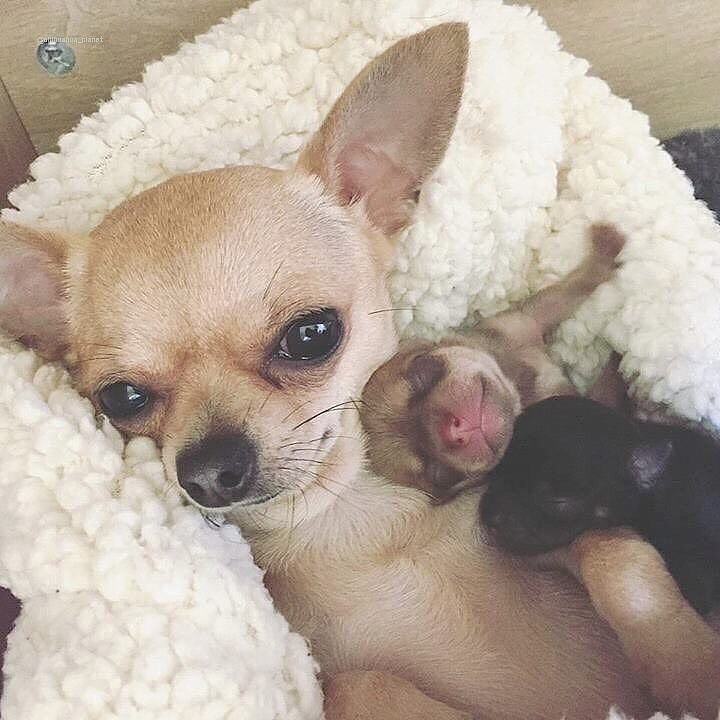 Chihuahua57