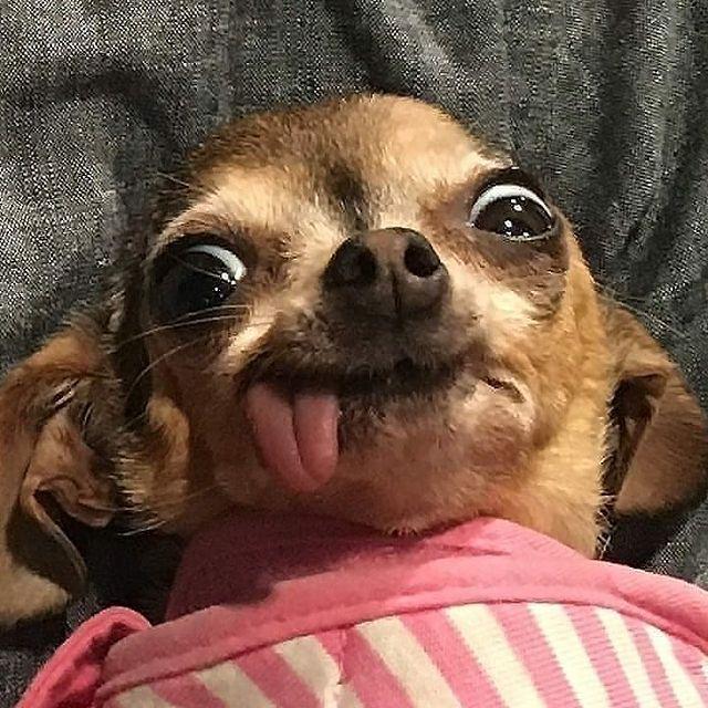 Chihuahua58