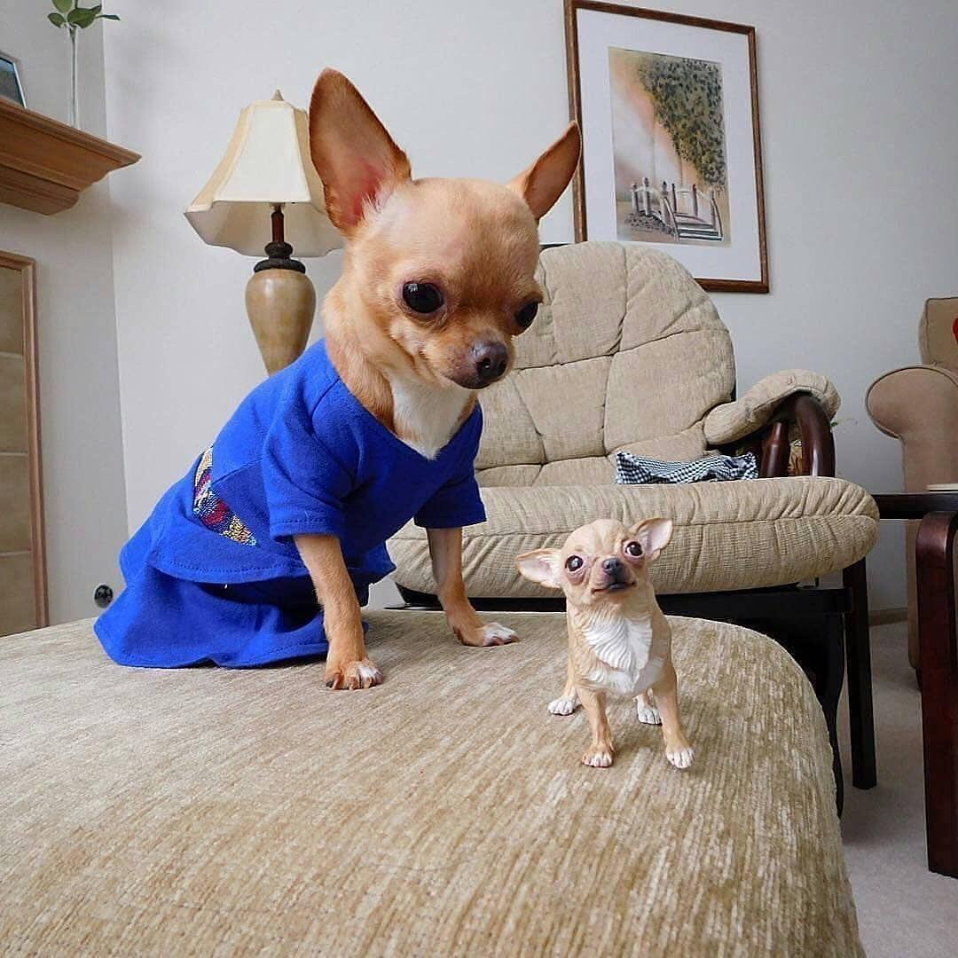 Chihuahua61