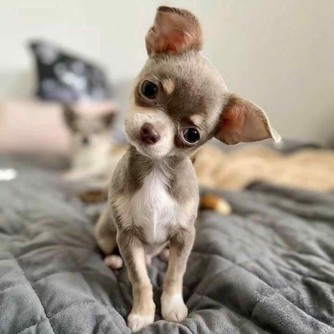 Chihuahua62