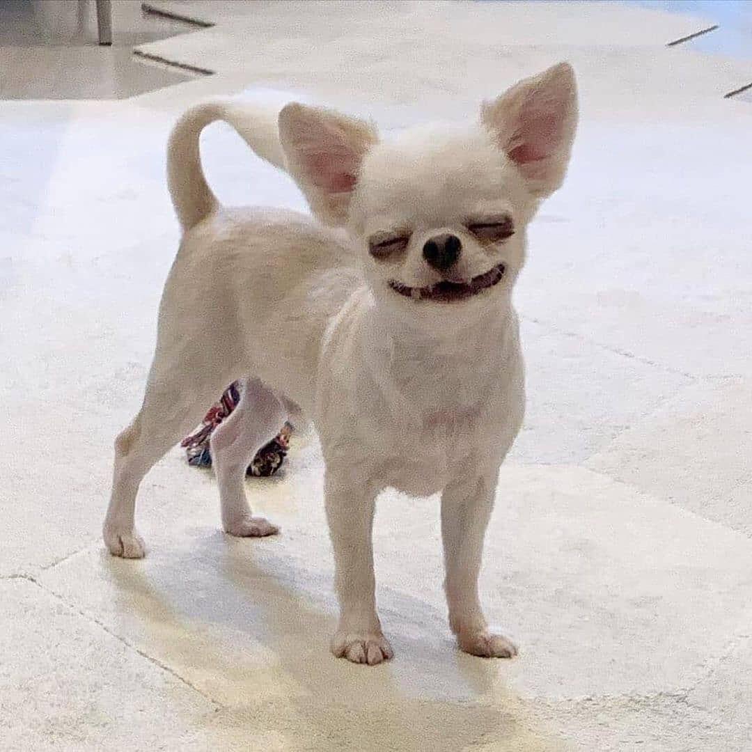 Chihuahua64