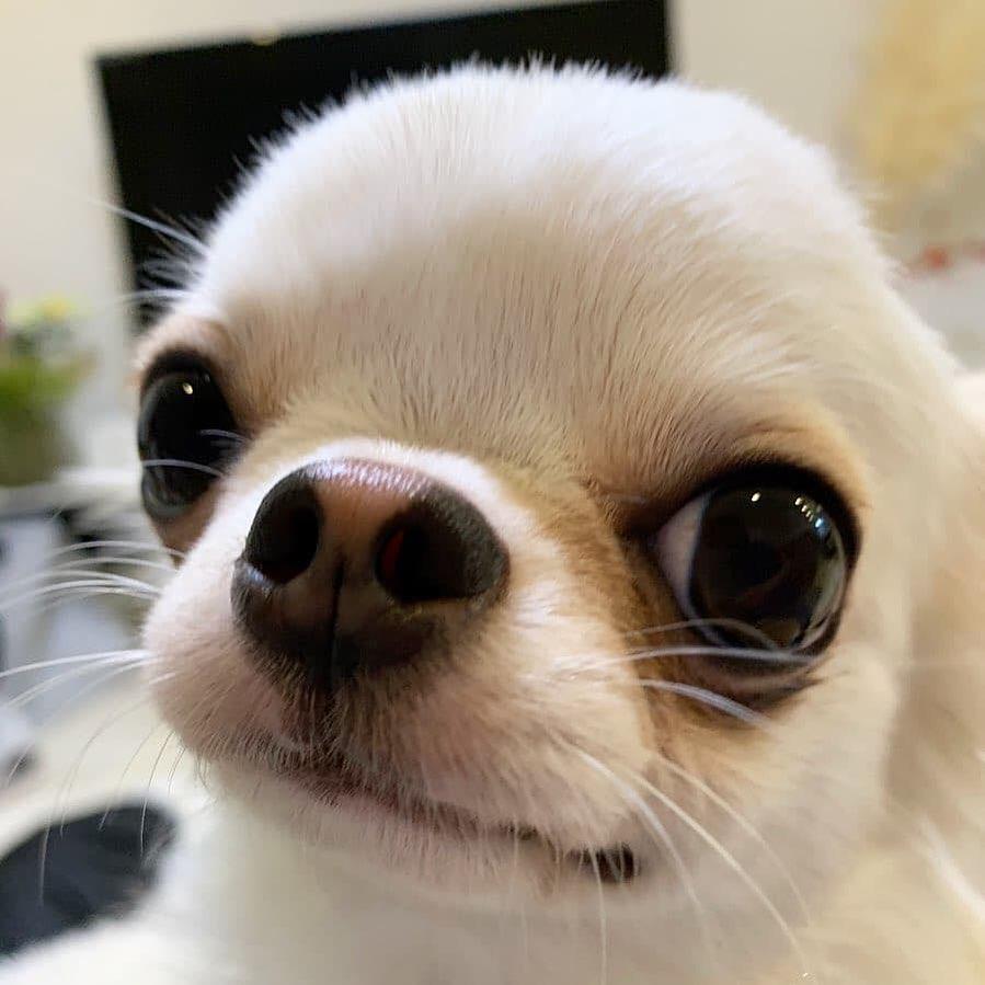 Chihuahua66