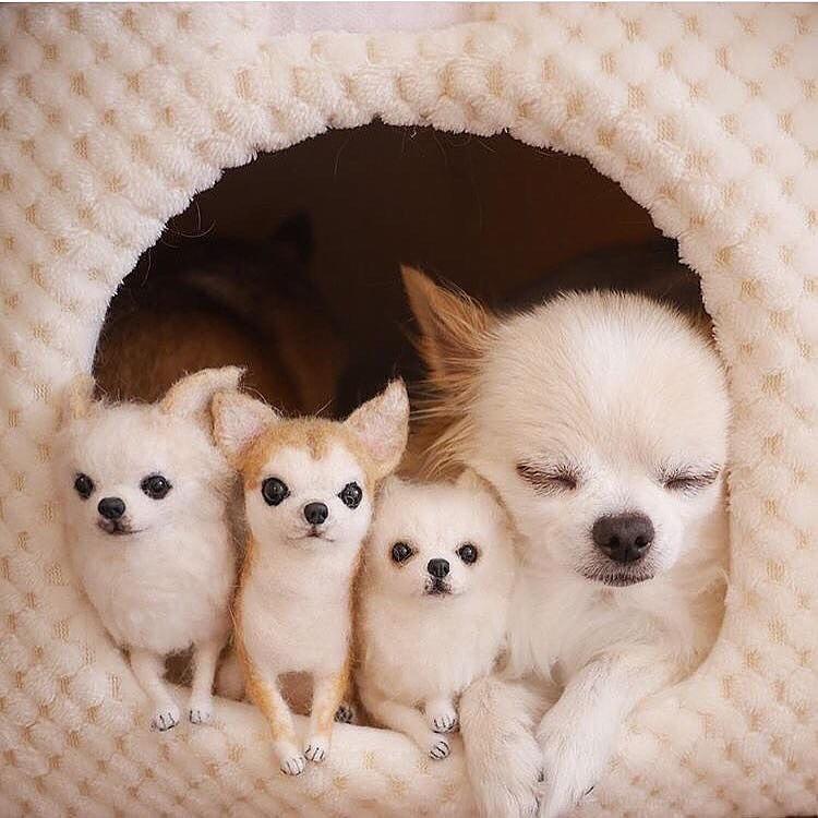 Chihuahua68