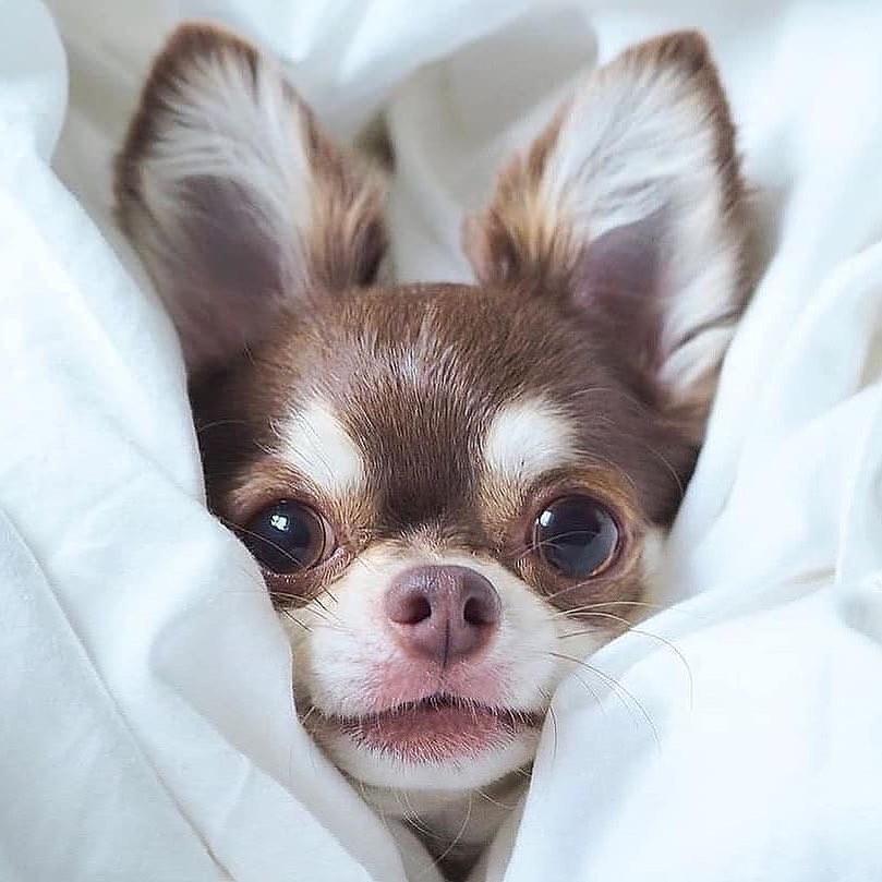 Chihuahua8