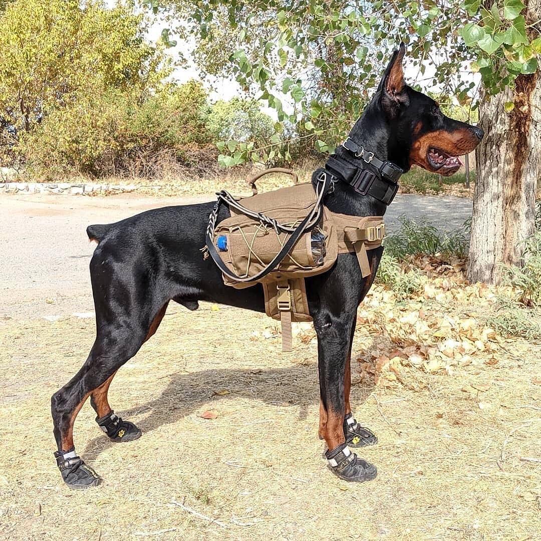 Mua chó Doberman ngay tại Việt Nam