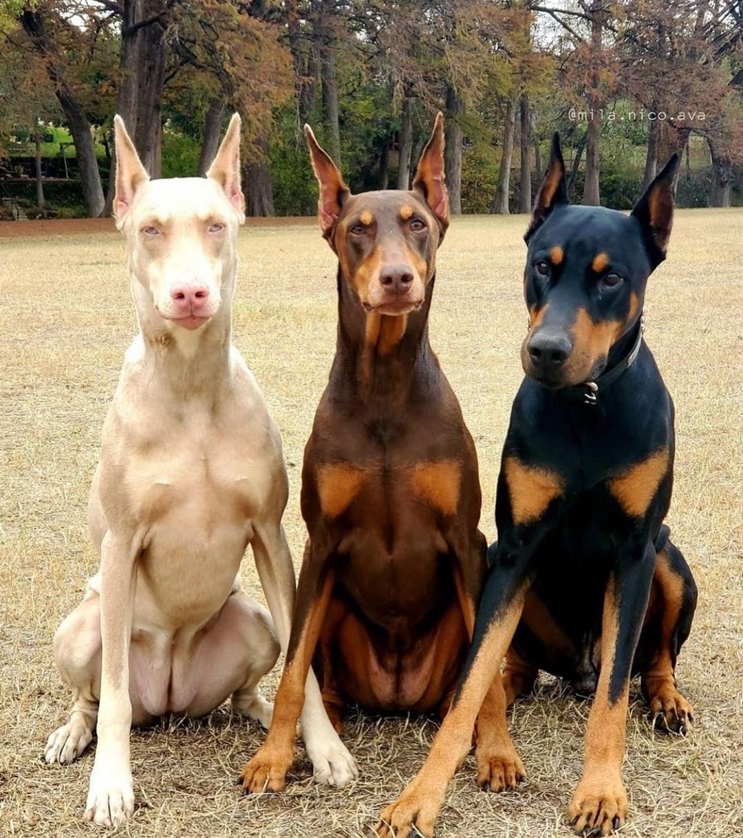Đặc điểm ngoại hình chó Doberman
