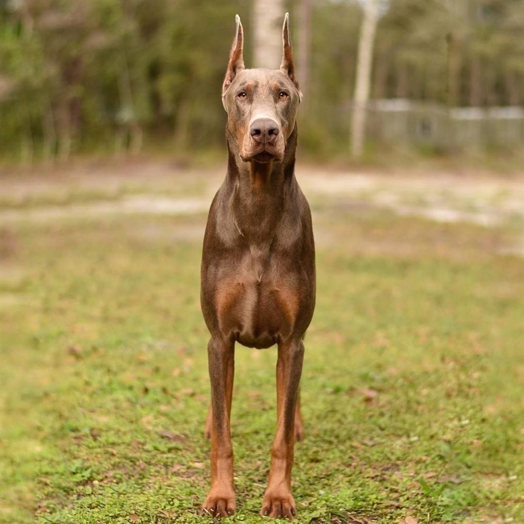 Nguồn gốc chó Doberman