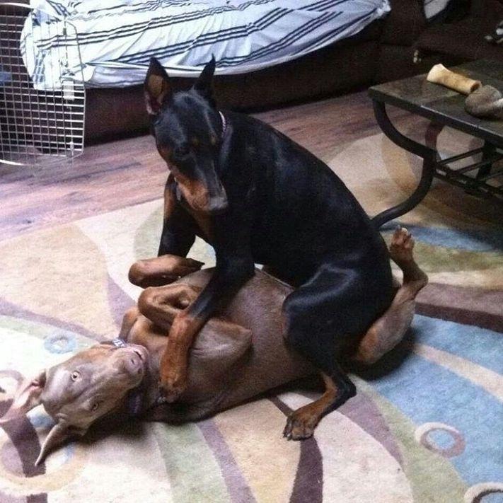Chó Doberman sinh sản được khi bao nhiêu tuổi
