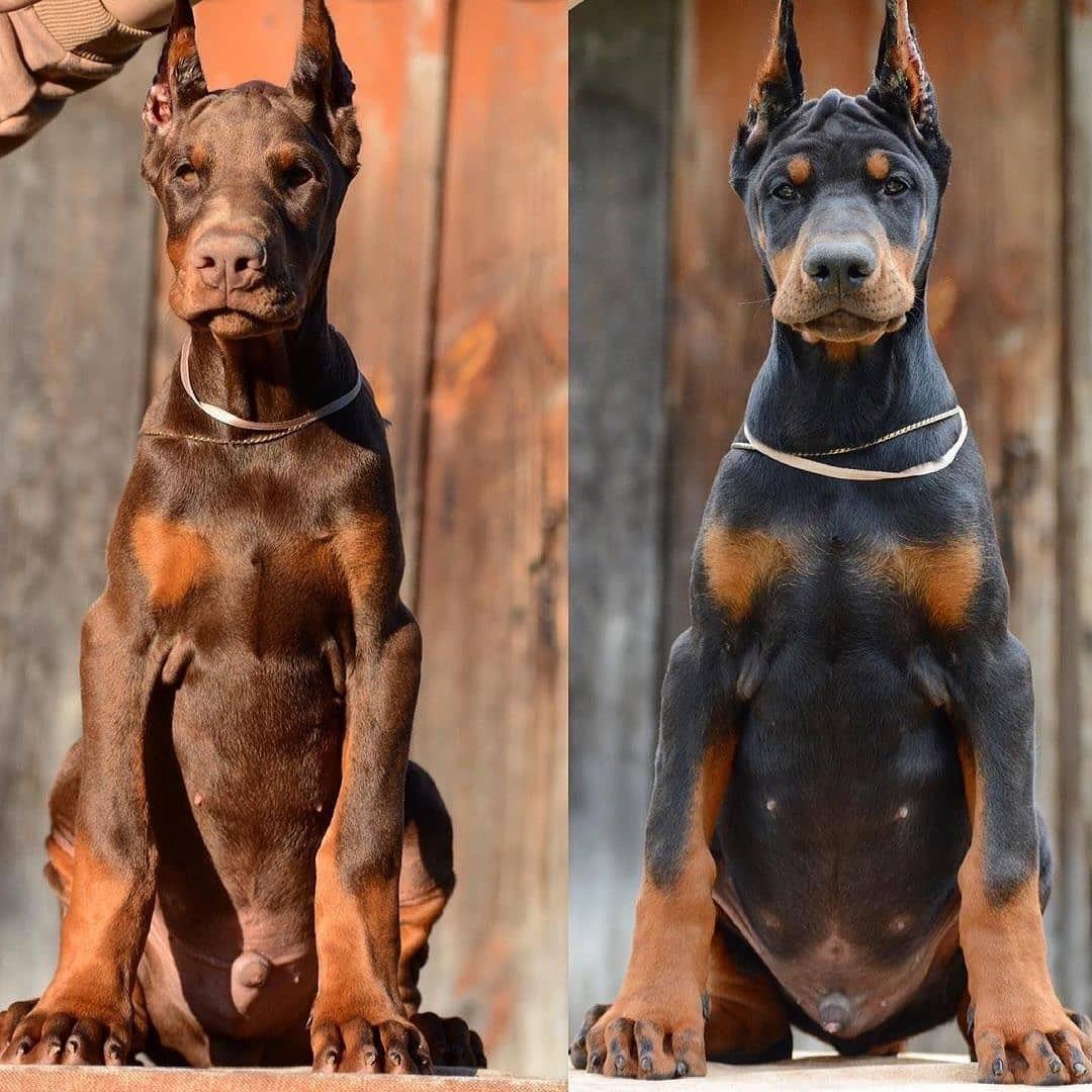 Chó Doberman xuất hiện khi nào?