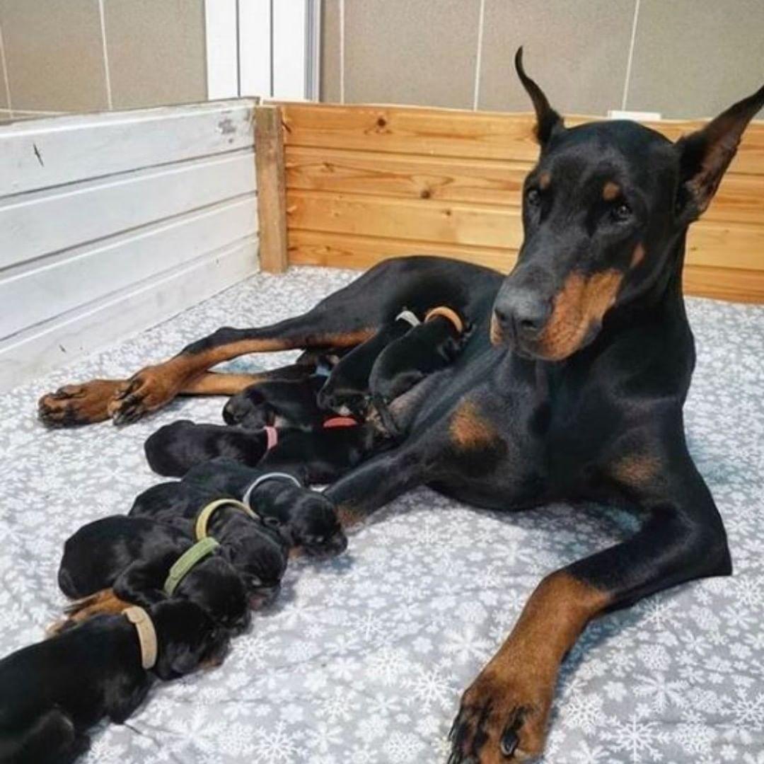 Chó Doberman sinh sản được mấy con