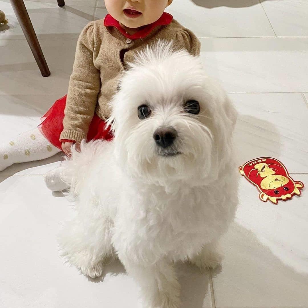 Đặc điểm ngoại hình chó Maltese