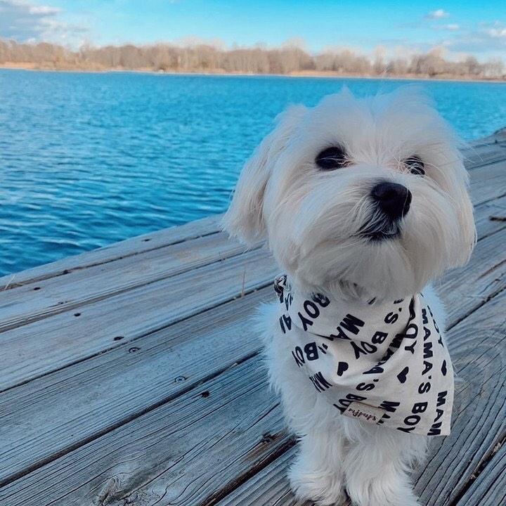 Hướng dẫn tắm cho chó Maltese