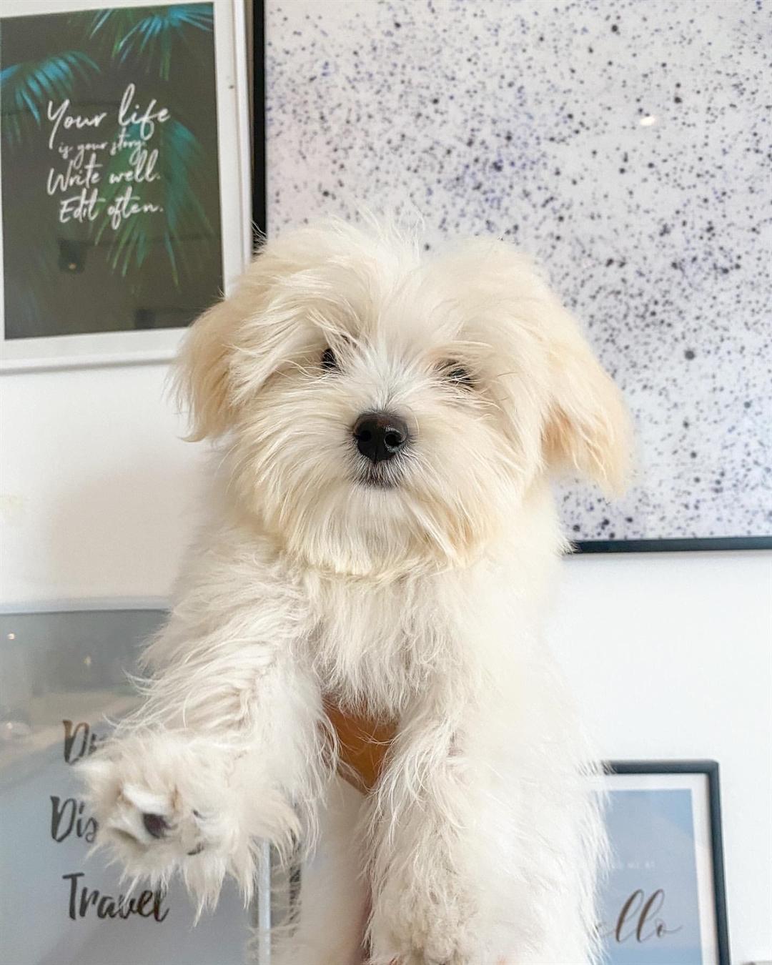 Giống chó Maltese giá bao nhiêu?