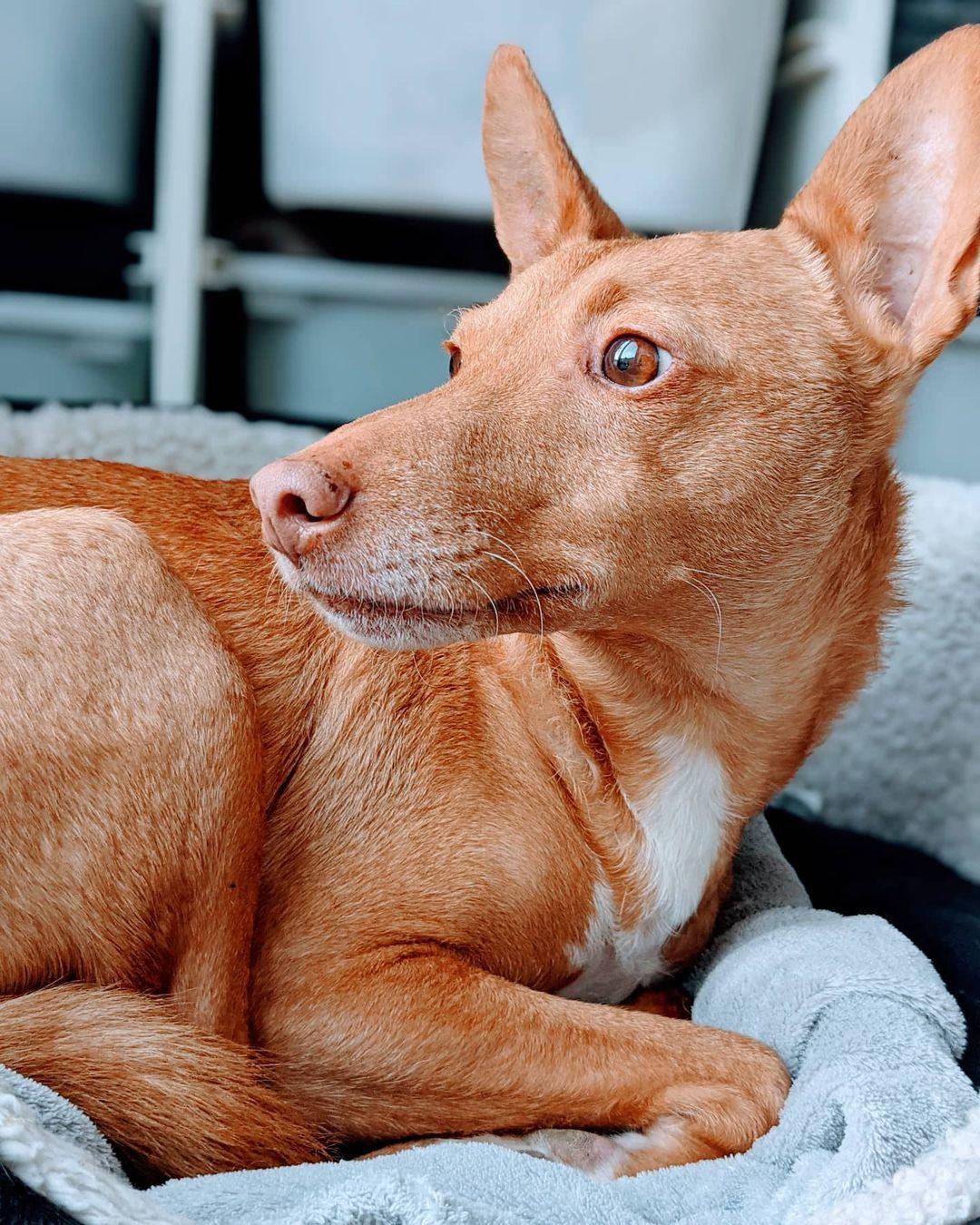 Báo Giá chó Ai Cập tại thị trường Việt Nam