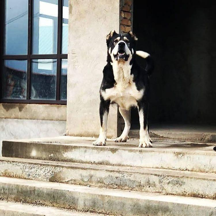 Đừng nên nhẹ dạ cả tin, tìm mua chó Alabai trên các website