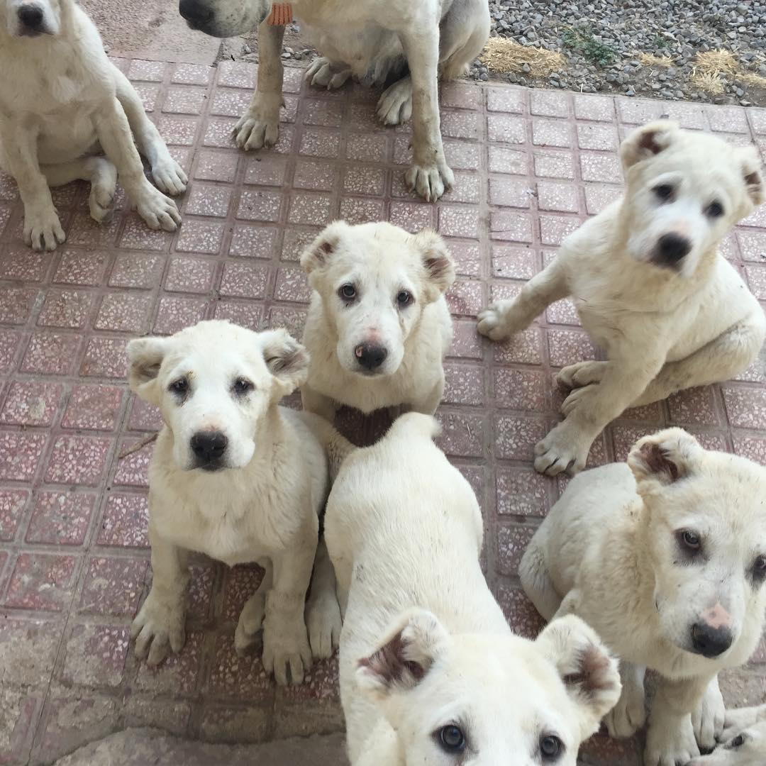 Chó Alabai một năm đẻ mấy lứa