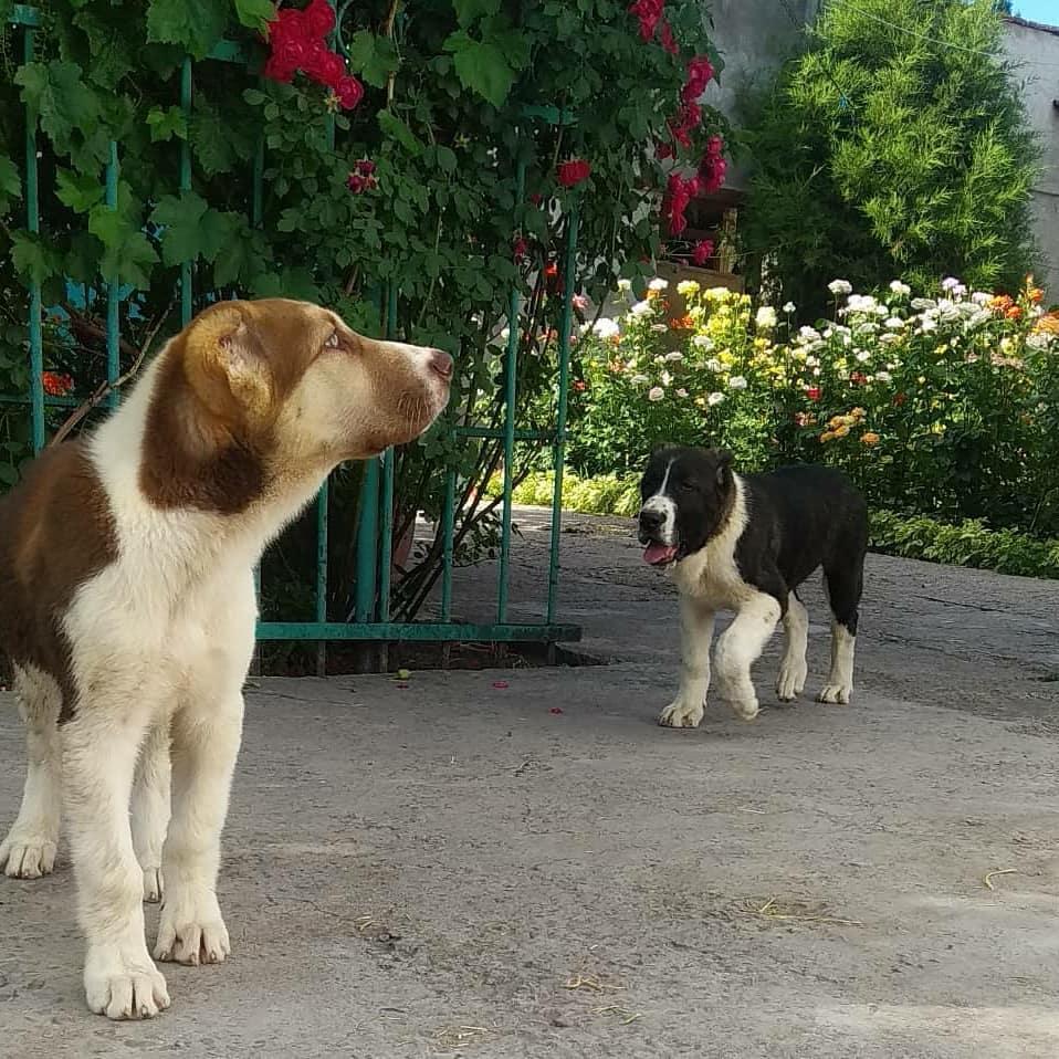 Nắm vững kiến thức trước khi nuôi chó Alabai