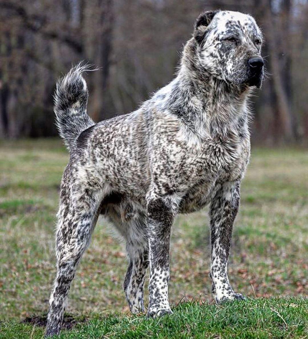 Một số ít do yếu tố di truyền ở chó Alabai