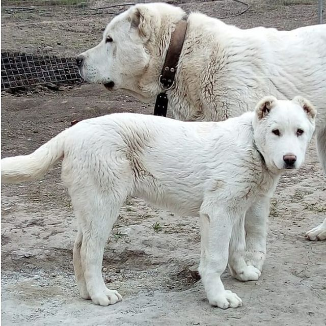 Chăm sóc bộ lông chó Alabai