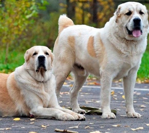 Đặc điểm tính cách chó Alabai