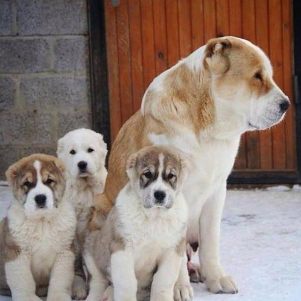 Môi trường sống của chó Alabai