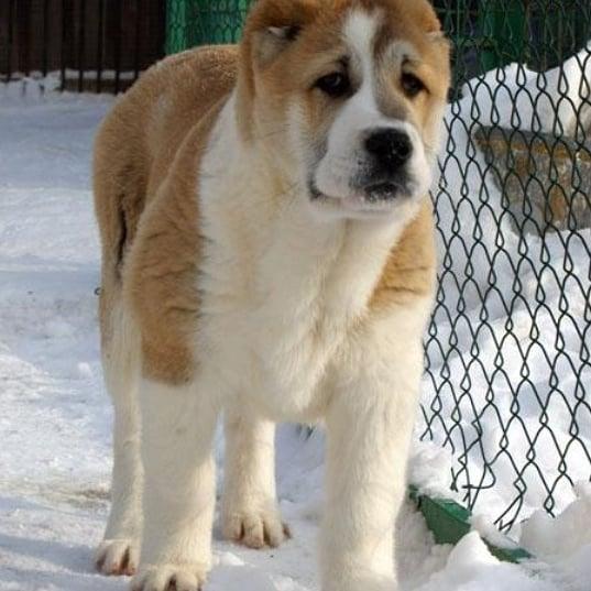 Thông tin chó Alabai- giống chó khổng lồ trên Thế Giới