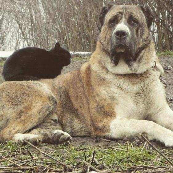 Đặc điểm chó Alabai
