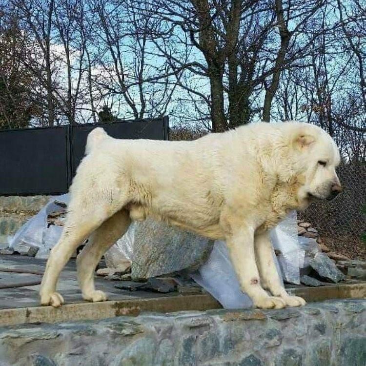 Có nên chọn mua chó Alabai nhập khẩu từ China