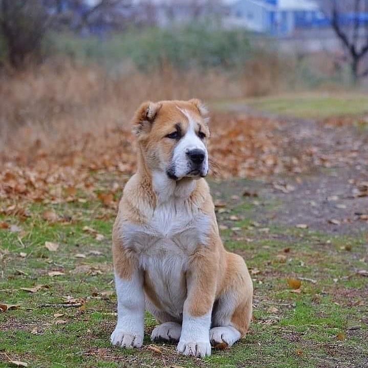 Chó Alabai sinh sản khi được mấy tuổi