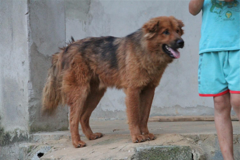Đặc điểm bộ lông của chó xù Bắc Hà