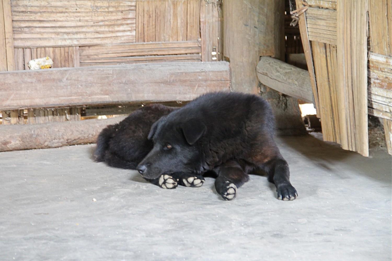 Nhận biết chó Bắc Hà thuần chủng với chó lai