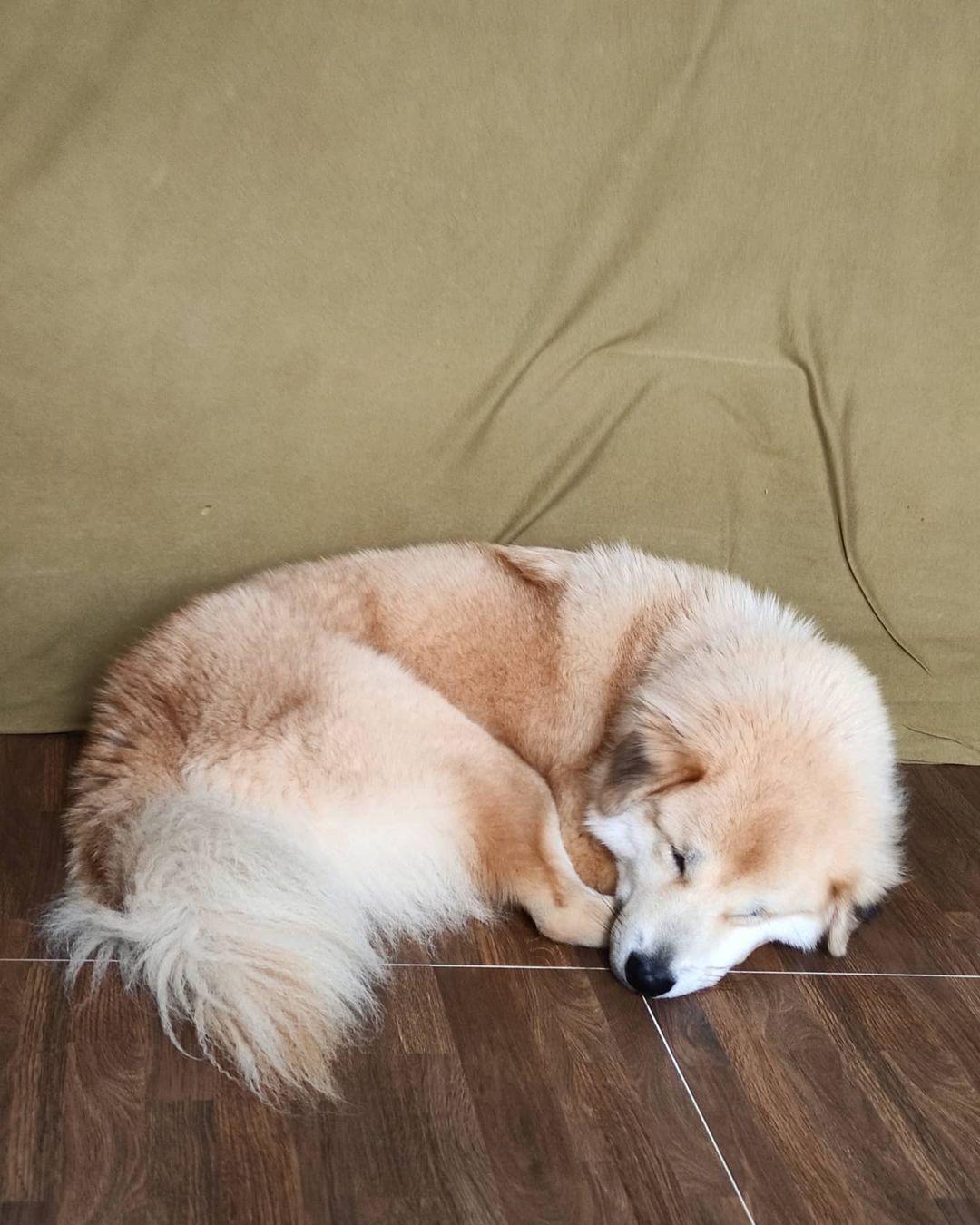 Dinh dưỡng chó Bắc Hà từ 6 tháng tuổi trở lên