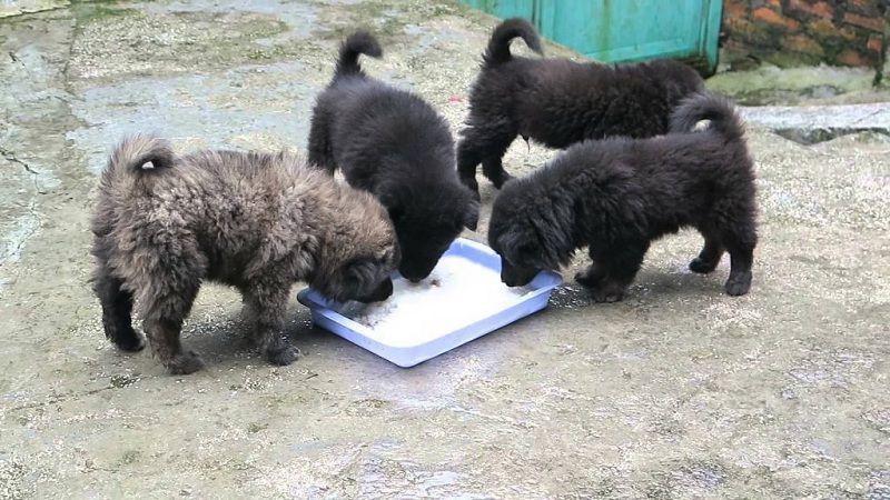 Dinh dưỡng chó Bắc Hà - Chế độ ăn cho chó Bắc Hà